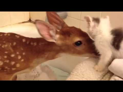 Deer Meets Kitten