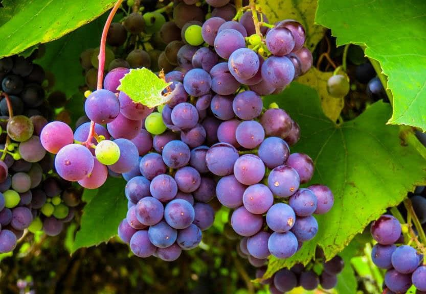 Purple Grapes, Both grapes and juice of grapes including the skin are excellent sources of resveratrol, which is a phytochemical from a group of phytochemicals known as polyphenols.