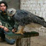 Largest Bird In The World and most powerful eagle, and can grow up to 42 inches long