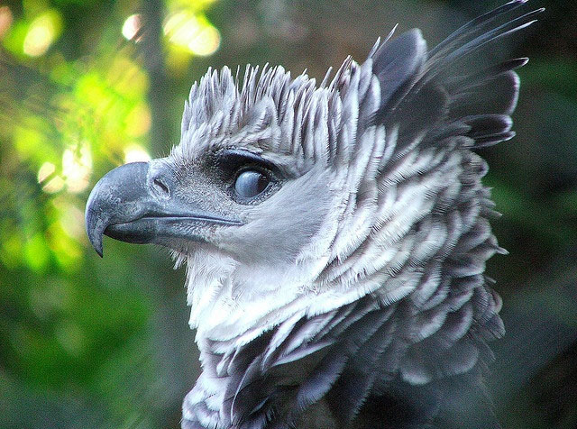 harpy eagle the powerful bird in the world