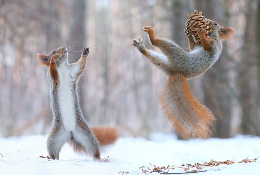 squirrels playing together