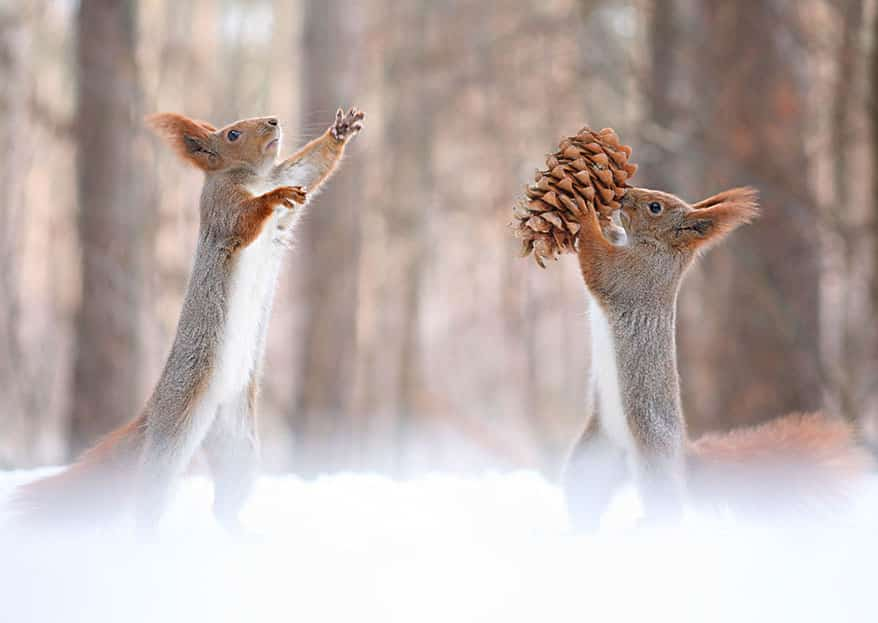 squirrels plays together