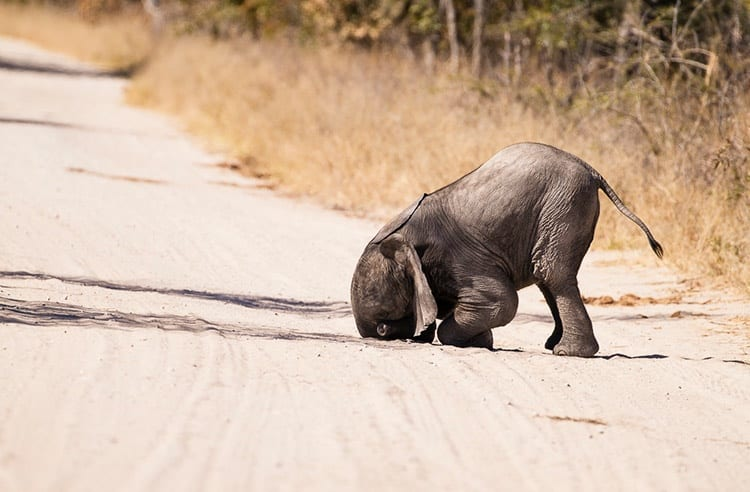 baby elephant taking a moment to collect itself on the side of the road