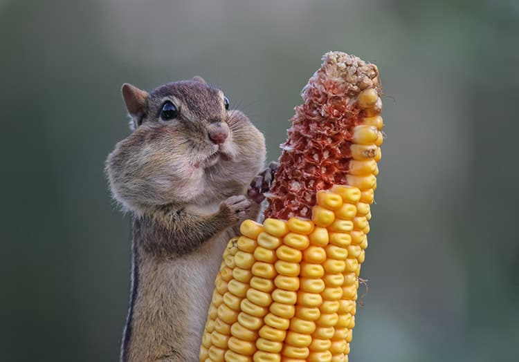 chipmunk, slowly realising it's in over its head