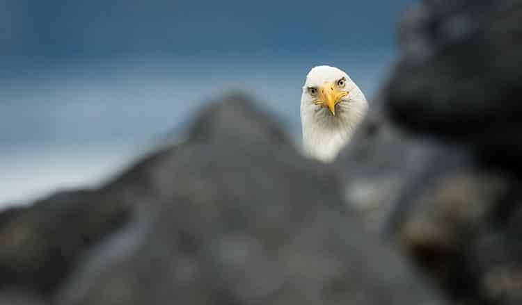 eagle, definitely not trying to figure out how to eat you
