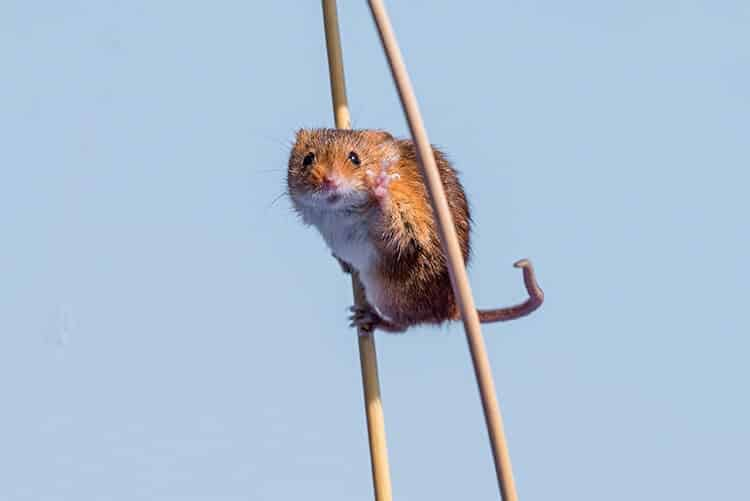 mouse on stilts