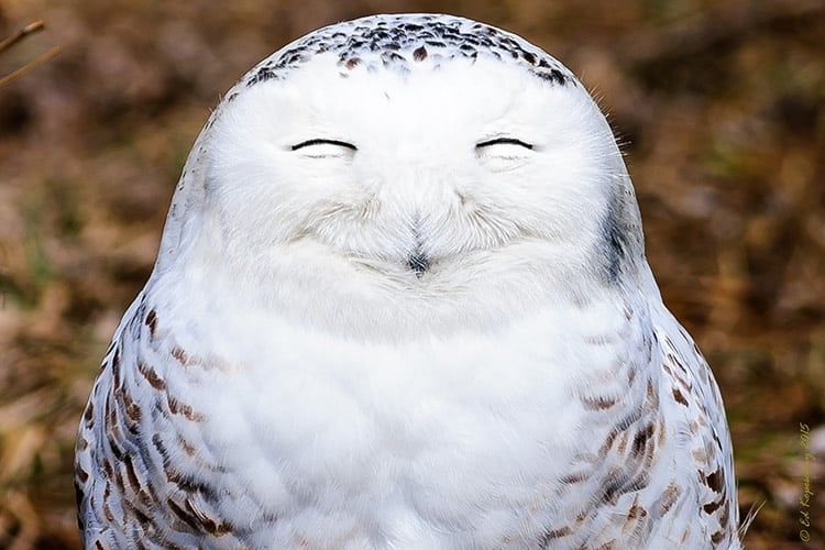 snowy owl, finding its bliss