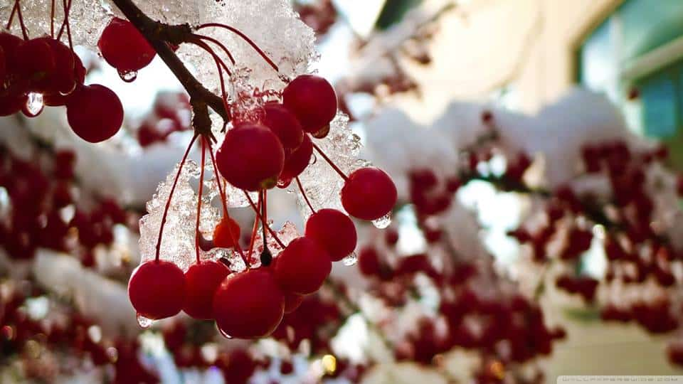 Wonderful Pictures of Red Winter Berries