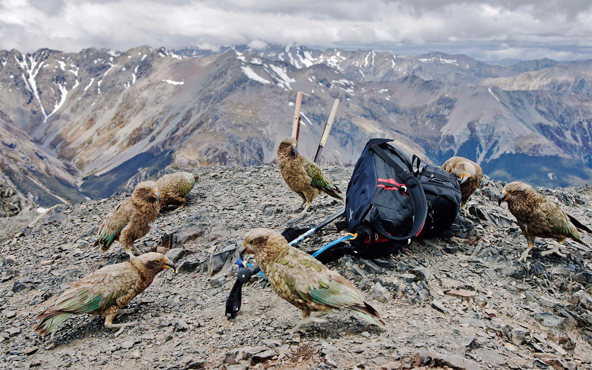 Views of the Arthur's Pass from Avalanche Peak track with the usual companion – Kea parrot.