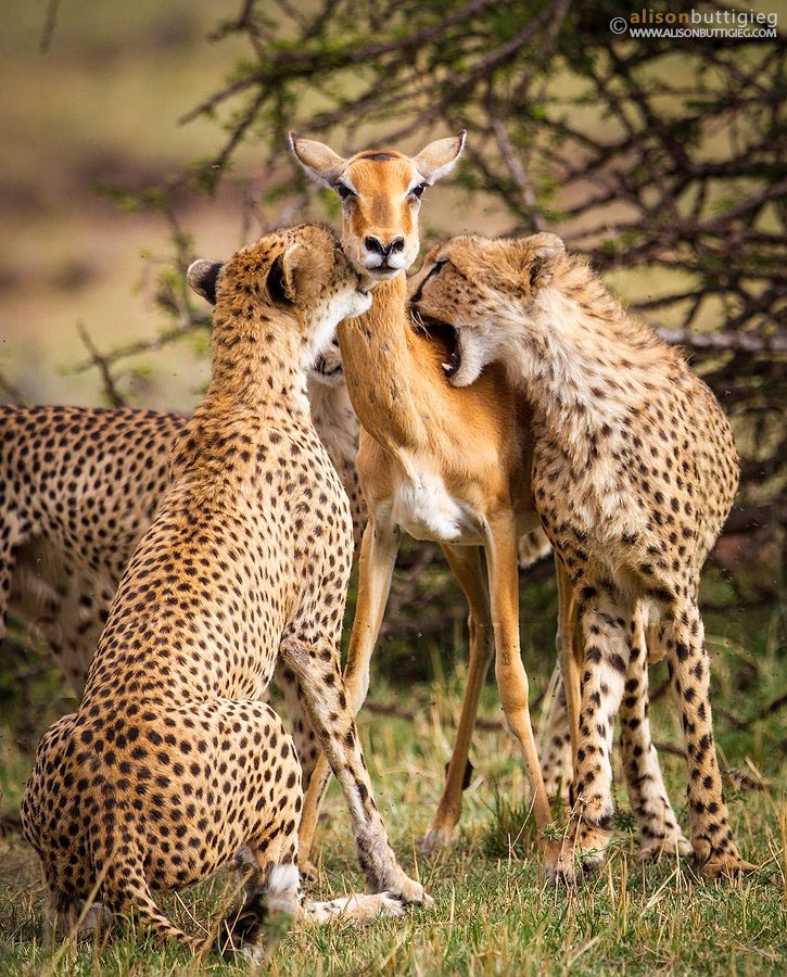 photos of cheetahs devouring an impala