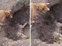 Dog Spotted Burying His Best Friend