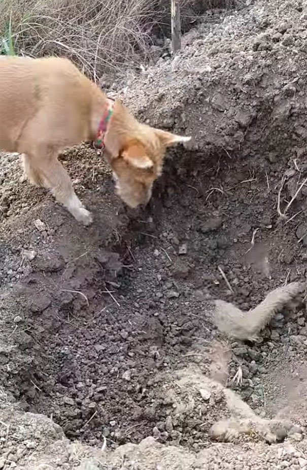 dog buries riend