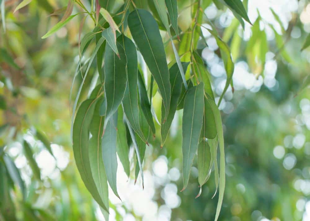 Eucalyptus Benefits