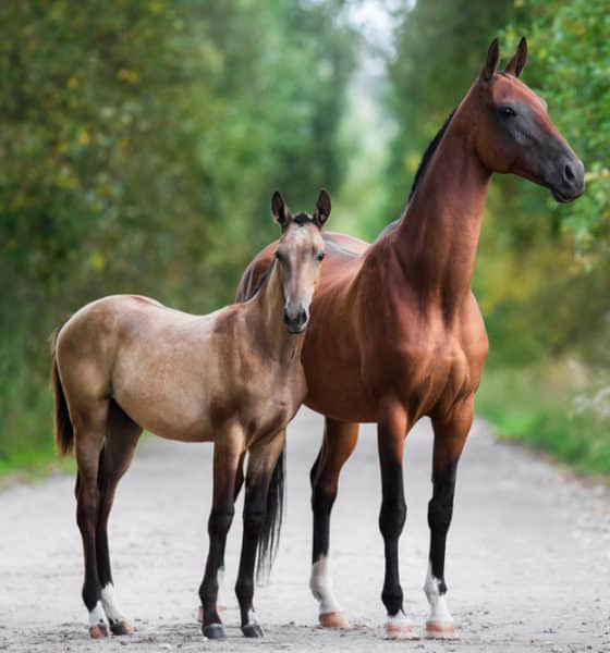 Commonly Endangered Horse Breeds in The World Today