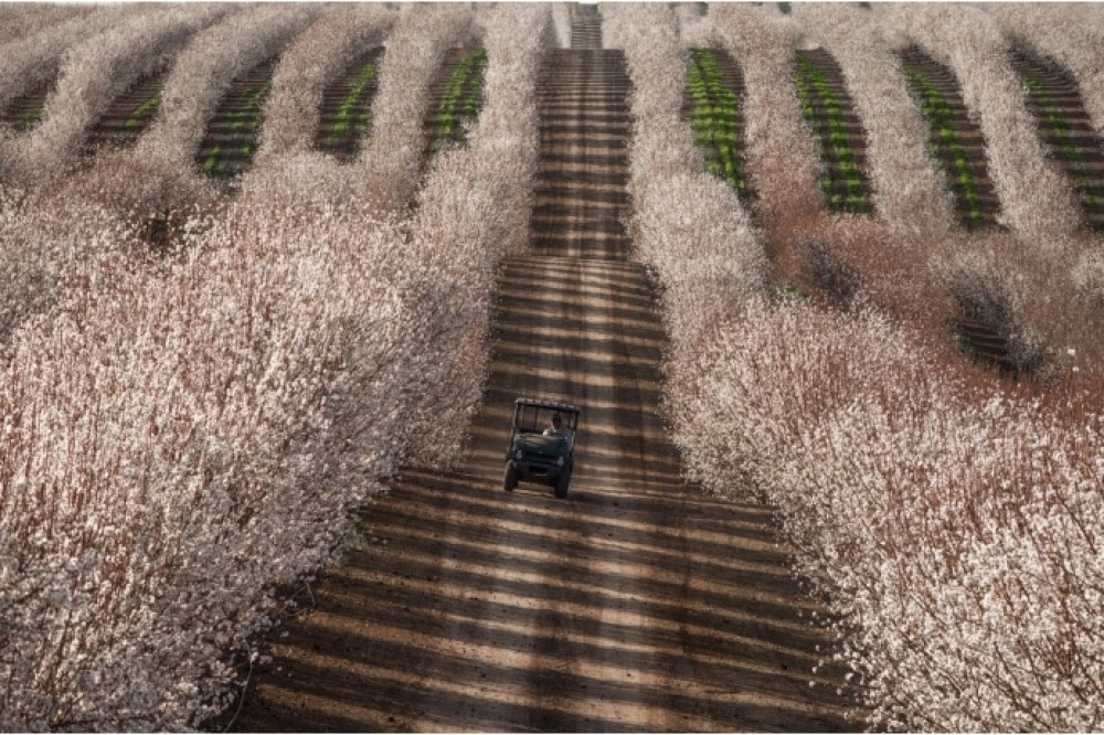 Almond Fields, California