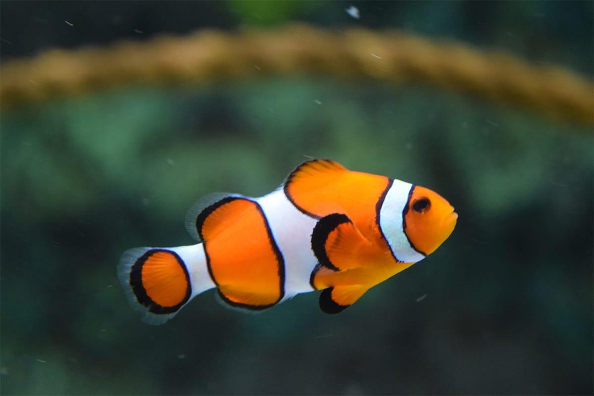 Fish's Temperament