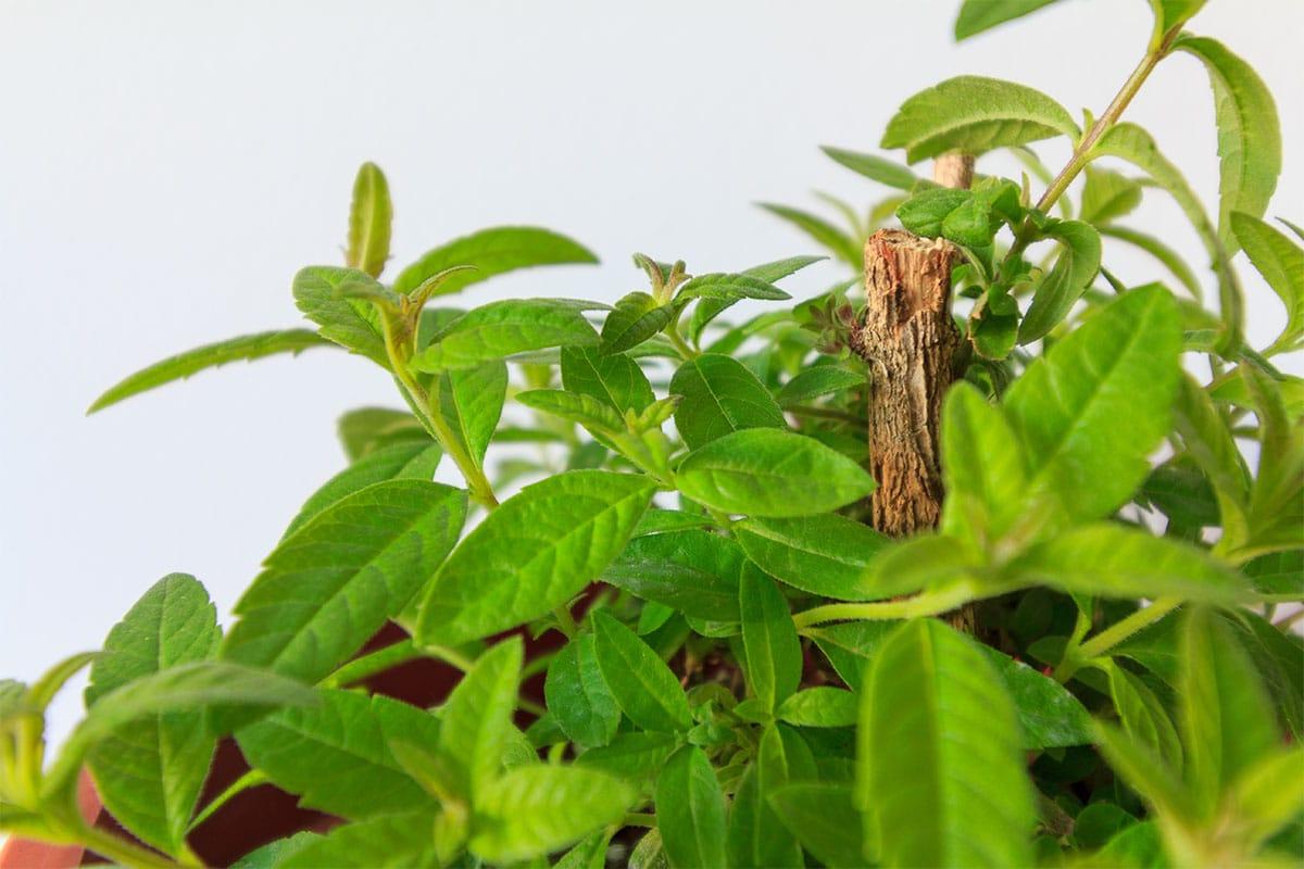 Growing Kratom Through Cuttings
